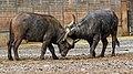 Berlin Tierpark Friedrichsfelde 12-2015 img04 African buffalo.jpg
