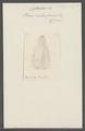 Beroe mitraeformis - - Print - Iconographia Zoologica - Special Collections University of Amsterdam - UBAINV0274 110 04 0015.tif