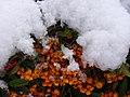 Berries Under Snow - geograph.org.uk - 1653119.jpg