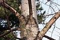 Betula maximowicziana 4zz.jpg
