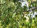 Betula pendula - Bela breza (4).jpg