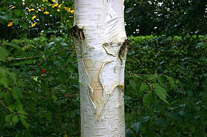 Betula utilis - White, paper-like bark