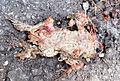 Biberwier - dead frog.jpg