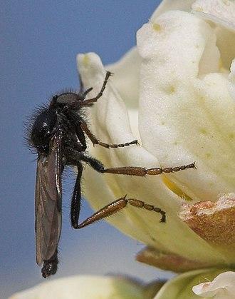 Bibio (fly) - Bibio johannis