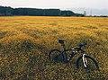Bicycle among buttercups.jpg