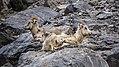 Bighorn sheeps.jpg