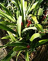 Billbergia macrocalyx HabitusInflorescence BotGardBln091006g.jpg