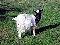 Billy Goat Gruff (2955090318).jpg