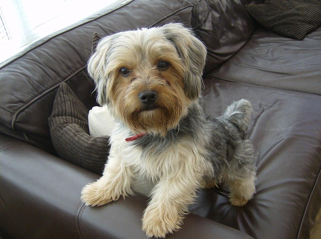 Free Yorkshire Terrier Dog Avatars
