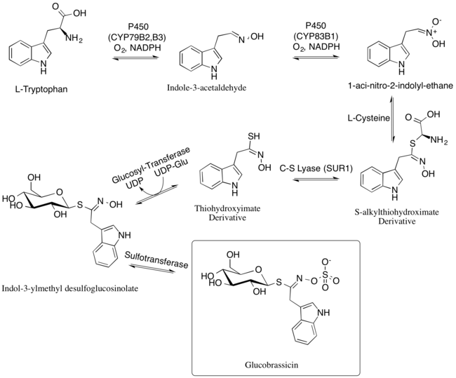 Biosynthesis of Glucobrassicin.png
