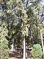 BiotaOrientalisTree2.jpg