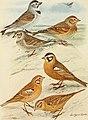 Bird lore (1911) (14752046621).jpg