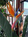 Bird of Paradise (6902575491).jpg