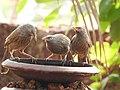 Birds from Ezhimala DSCN7032.jpg