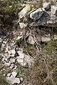 Biscutella mediterranea-Lunetière de Méditerranée-20160420.jpg