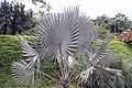 Bismarckia nobilis 24zz.jpg