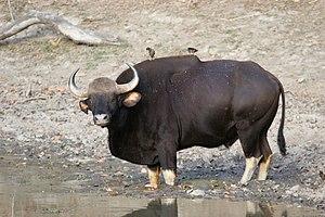 Achanakmar Wildlife Sanctuary - The gaur, an endangered species.