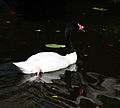 Black-Necked Swan (3264191313).jpg