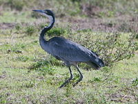 Black-headed Heron (Ardea melanocephala ) RWD.jpg
