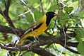 Black-headed oriole, Oriolus larvatus, at Borakalalo National Park, Northwest Province, South Africa. My first Oriole photos, not the best work, but it was overcast and the birds were in the forest canopy, so light was a challenge..jpg