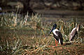 Black-necked Stork (Ephippiorhynchus asiaticus) female (20749622212).jpg