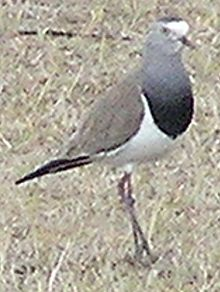 Black-winged Lapwing.jpg