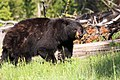Black Bear - panoramio (2).jpg