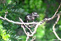 Black Drongo (Juvenile) I Picture 090 copy.jpg