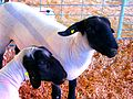 Black Faced Sheep (2788761276).jpg