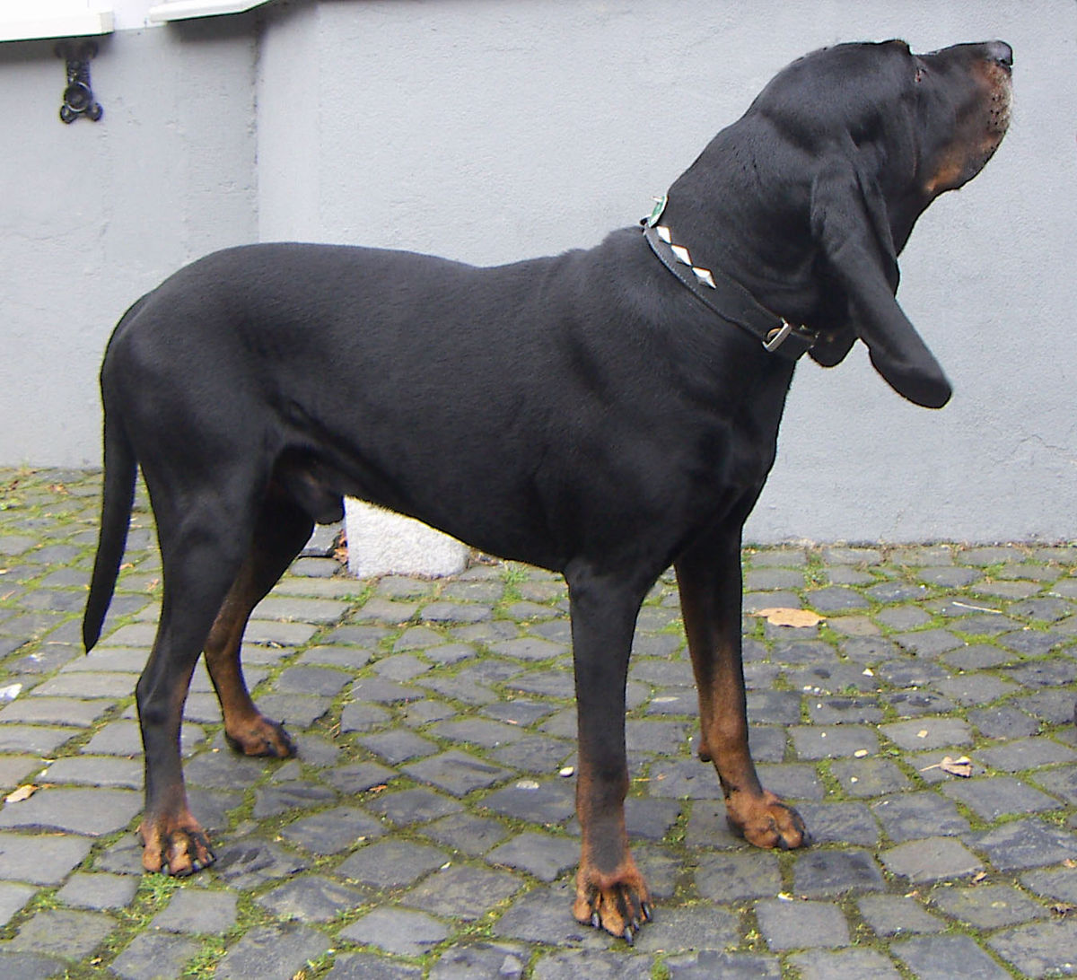 Black and Tan Coonhound - Wikipedia American Black And Tan Coonhound Puppies