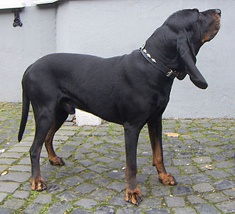 Black and Tan Coonhound - Image: Black and Tan Coonhound
