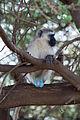 Black faced vervet monkey.jpg