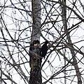 Black woodpecker.jpg