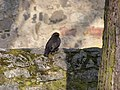 Blackbird (117715291).jpg