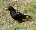 Blackbird (male) 9u07.JPG