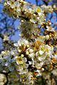 Blackthorn Blossom - geograph.org.uk - 384619.jpg