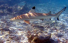 Blacktip reef shark.jpg