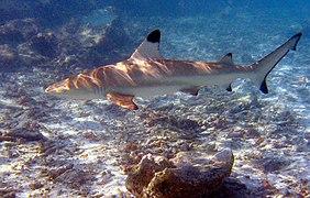 Blacktip reef shark.jpg