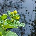 Bloemknoppen van Caltha palustris 16-04-2020 (d.j.b.) 01.jpg