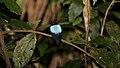 Blue-backed Manakin (Chiroxiphia pareola) (4089434391).jpg