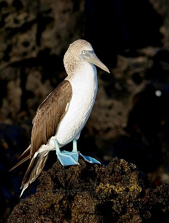 Blue-footed booby - Clearly showing the white underparts unlike the dark brown wings and the blue legs