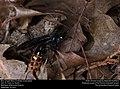 Blue-winged Wasp (Scoliidae, Scolia dubia) (30140424681).jpg