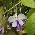 Blue Butterfly Bush Flower.jpg