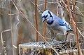 Blue Jay (195274607).jpeg