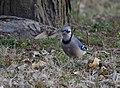 Blue Jay (32528187483).jpg