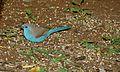 Blue Waxbill (Uraeginthus angolensis) (6002252928).jpg