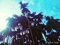 Blue sky and tall palm trees.jpg