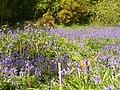 Bluebell Bloom in Book Hurst - geograph.org.uk - 1858506.jpg