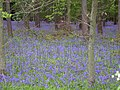 Bluebell woods - geograph.org.uk - 1288102.jpg