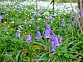 Bluebells and wild garlic in spring - geograph.org.uk - 1766594.jpg